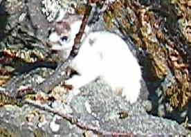 ermine in transitional coat