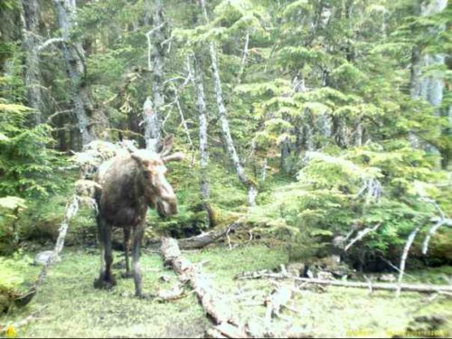 young moose in swamp