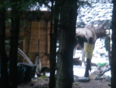 moose in the garden again