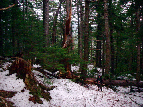 """""""sword of damocles"""" tree falls across the trail"""