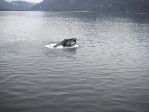 lunge-feeding humpback whale