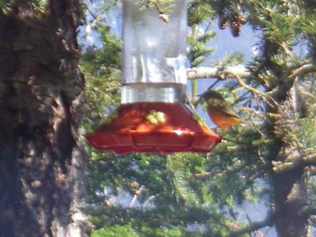 The as-yet unidentified warbler, raiding the hummingbird feeder (Photo: Mark Zeiger).