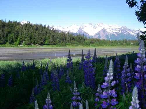 The Chilkat Range through Nootka lupine on Mud Bay (Photo: Mark Zeiger).