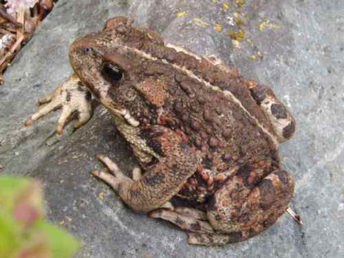 Western (boreal) toad in our new garden bed (Photo: Mark A. Zeiger).