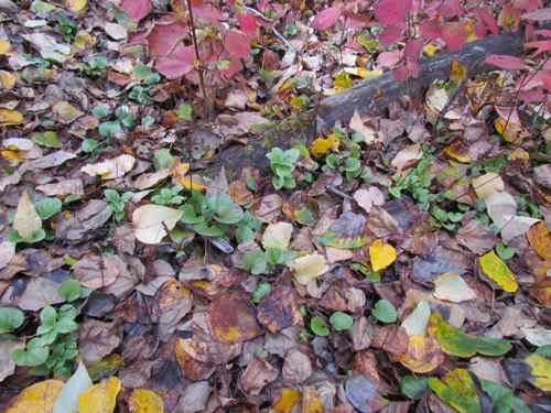 Autumn ground cover along the Chilkat River (Photo: Michelle L. Zeiger).