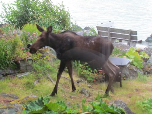 Moose calf in the dooryard (Photo: Mark A. Zeiger).