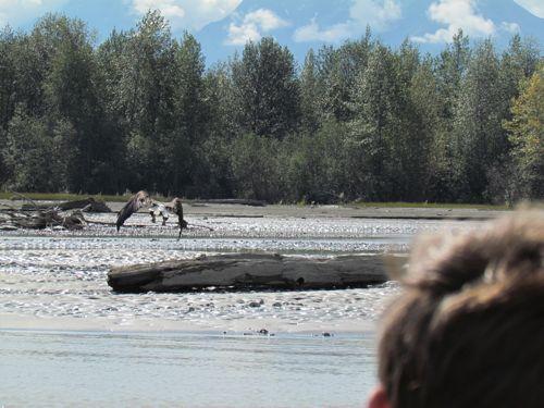 An eagle takes off from a sandbar on the Klehini (Photo: Mark A. Zeiger).