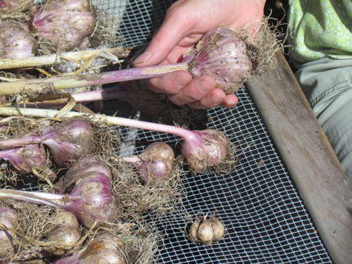 Hard neck garlic (Photo: Mark A. Zeiger).