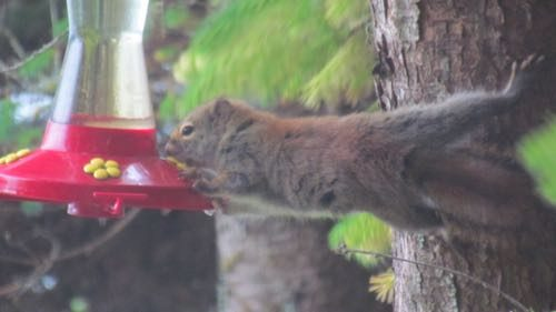 Red squirrel, caught red handed at the hummingbird feeder (Photo: Mark A. Zeiger).
