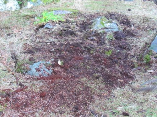 The aftermath of spruce root removal (Photo: Mark A. Zeiger).