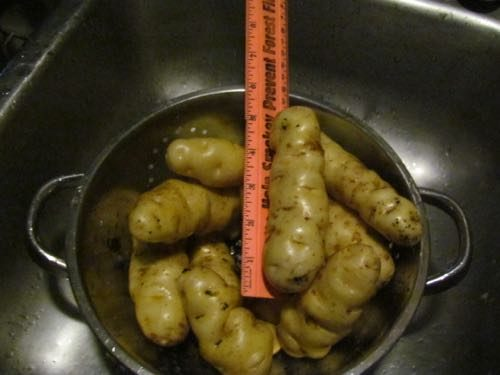 Maria's potatoes, about 3 times our normal size (Photo: Michelle L. Zeiger).