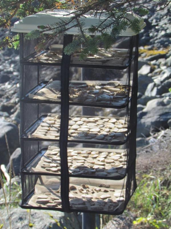 bolete mushrooms in dryer