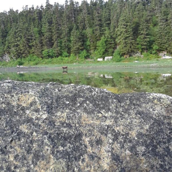 Moose on the beach