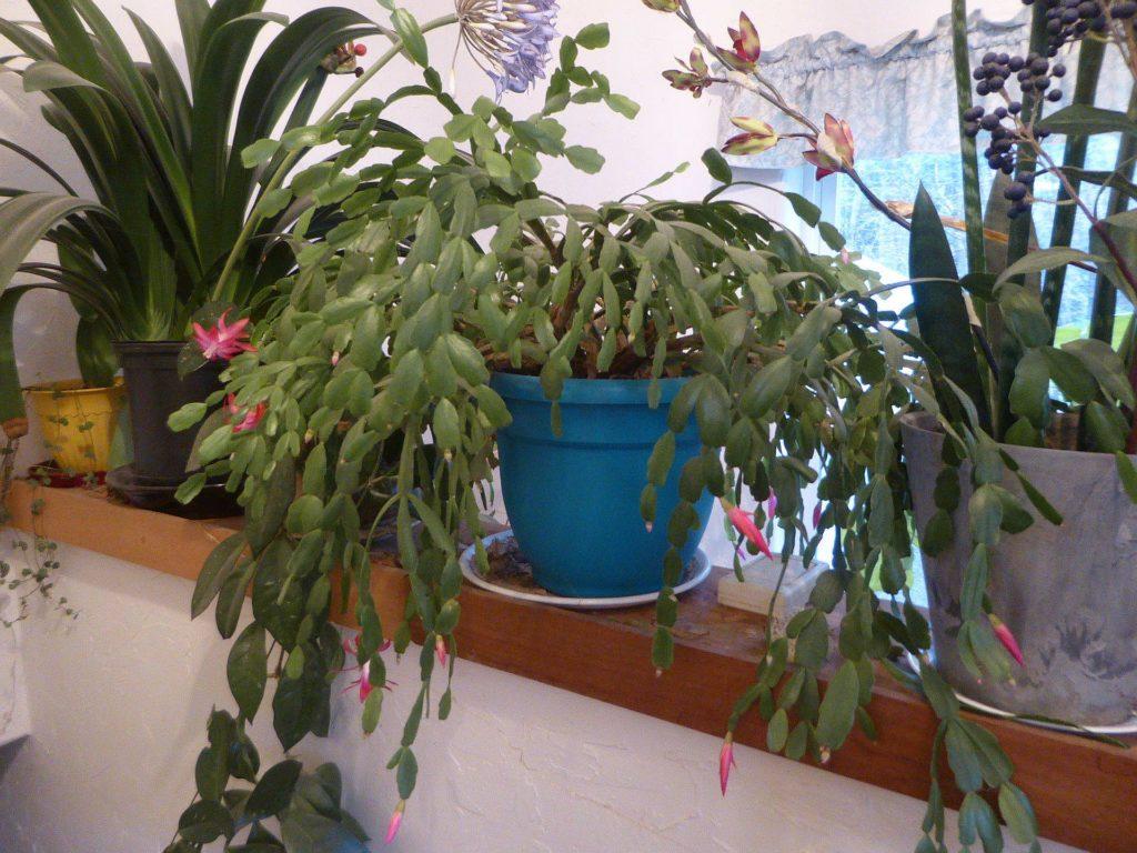 Large Christmas cactus